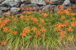 Orange Day Lilies along Stone Wall, Royalston, MA