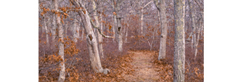 Trail Through Oak Forest at Long Point Refuge, Trustees of Reservations, Martha's Vineyard, West Tisbury, MA