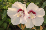 Close Up of Hibiscus Flowers, Martha's Vineyard, Oak Bluffs, MA