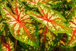 Close Up of Caladium Leaves, Martha's Vineyard, Oak Bluffs, MA