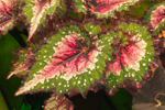 Close Up of Coleus Leaves, Martha's Vineyard, Oak Bluffs, MA