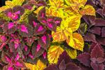 Colorful Leaves of Coleus Plants, Martha's Vineyard, Edgartown, MA