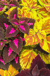 Colorful Leaves of Coleus Plants, Martha's Vineyard, Edgartown, MA