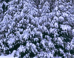 Hemlocks Heavy with Snow