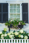 Window View with White Hydrangeas, Colorful Flower Boxes, and White Fence, Martha's Vineyard, Edgartown, MA