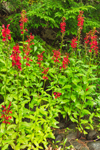 Cardinal Flowers along Millers River near Bearsden Conservation Area, Athol, MA