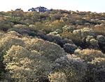 Shadbush in Spring Bloom at Rodman's Hollow Nature Preserve
