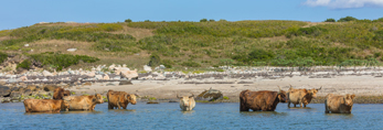 Scottish Highland Cattle in Water along Shore of Nashawena Island at Cuttyhunk Harbor, Elizabeth Islands, Town of Gosnold, MA