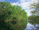 Maple Trees and Farmington River in Spring