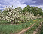 Apple Orchard with Country Road in Spring