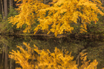 Sugar Maple Trees Reflecting in Millers River, Birch Hill Recreation and Wildlife Management Area, Royalston, MA