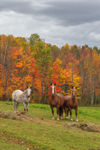 Horses in Field in Fall, White Mountains Region, Sugar Hill, NH