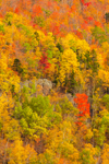 Colorful Fall Foliage on Side of Bluff Mountain, Northeast Kingdom, Brighton, VT