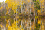 Birch Trees Reflecting in Spectacle Pond in Autumn, Spectacle Pond Natural Area, Brighton State Park, Northeast Kingdom, Brighton, VT