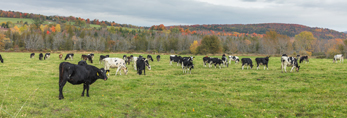 Cattle in Pasture in Fall, Northeast Kingdom, Charleston, VT