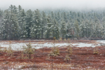 Conifer Forest and Wetlands at Moores Pond after Snowstorm, Warwick, MA