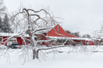 Snow-covered Apple Tree and Red Barn at Red Apple Farm, Phillipston, MA