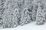 Snow-covered Spruce Trees at Edge of Ryder Pond after Fresh Snowfall, Whitingham, VT