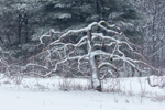Old Apple Tree Covered with Snow at Red Apple Farm, Phillipston, MA