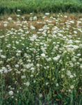 Field of Queen Anne's Lace in Full Bloom, Adirondack Park, Piercefield, NY