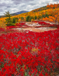 Huckleberry and Acadia National Park Landscape, Acadia National Park, ME