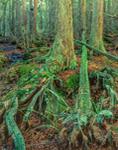 Atlantic White Cedar Swamp, Brendan T. Byrne State Forest, Burlington County, NJ