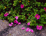 Wild Roses with Fallen Petals on Granite, Sand Island