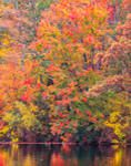 Fall Foliage on Shoreline of Halls Pond, Eastford, CT