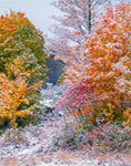 Woodlands with Fall Foliage and Snow, Phillipston, MA