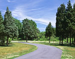 Cedar Trees and White Clover along Country Drive