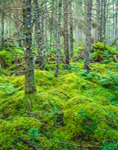 Carpet of Moss in Spruce Forest, Great North Woods, Second College Grant, NH