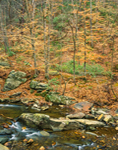 Lingering Beech Leaves, Lower Otter Creek, Blue Ridge Parkway, George Washington National Forest, Amherst County, VA