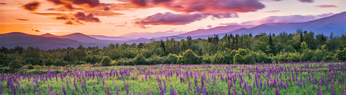 Lupines, White Mountains and High Winds at Dawn, Sugar Hill, NH