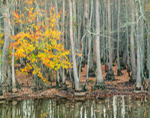 Red Maple and Tupelo Swamp in Fall, Bayou De View, Brinkley, AR