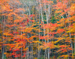 Red Maples at Forest and Wetland Edge in Autumn, Petersham, MA