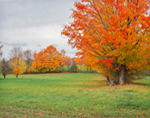 Sugar Maples and Meadow with Fall Foliage, Spencer, MA