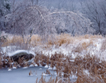 Pond Edge with Cattails and Gray Birch Trees Covered in Ice and Snow, Cornwall, CT