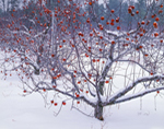 Lingering Apples in Winter Snow, Red Apple Farm, Phillipston, MA