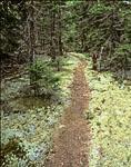 Path through Lichens in Spruce Forest on Saddleback Island