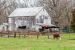 Old Worn and Weathered Barn with Grazing Cows in Pasture in Early Spring, Village of Summit Point, Charles Town, WV