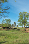 Cows Grazing in Rolling Green Pastures with Red Clay near Pond in Spring, Piedmont Region, Oglethorpe County, Comer, GA