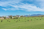 Cattle Grazing in Pasture with Blue Ridge Mountains in Background in Spring, Piedmont Region, Spartanburg County, Landrum, SC