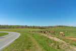 Cattle Grazing in Pasture along Country Road in Spring, Piedmont Region, Lincoln County, Lincolnton, NC