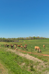 Cattle Grazing in Pasture in Spring, Piedmont Region, Lincoln County, Lincolnton, NC