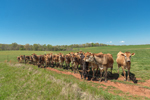 Curious Cattle at Fence in Pasture in Spring, Piedmont Region, Lincoln County, Lincolnton, NC