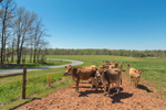 Cattle in Pasture in Spring, Piedmont Region, Lincoln County, Lincolnton, NC