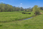 Cattle Grazing in Pasture in Spring, Piedmont Region, Lincoln County, Village of Daniels, Lincolnton, NC
