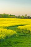 Canola Fields in Full Bloom in Spring, Piedmont Region, Davie County, Mocksville, NC