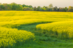 Canola Fields in Full Bloom in Spring, Piedmont Region, Davie County, Mocksville, NC
