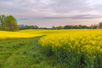 Canola Fields in Full Bloom in Early Morning in Spring, Piedmont Region, Davie County, Mocksville, NC